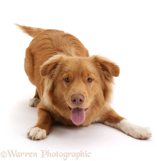 Nova Scotia Duck Tolling Retriever dog, 6 months old, in play-bow, white background