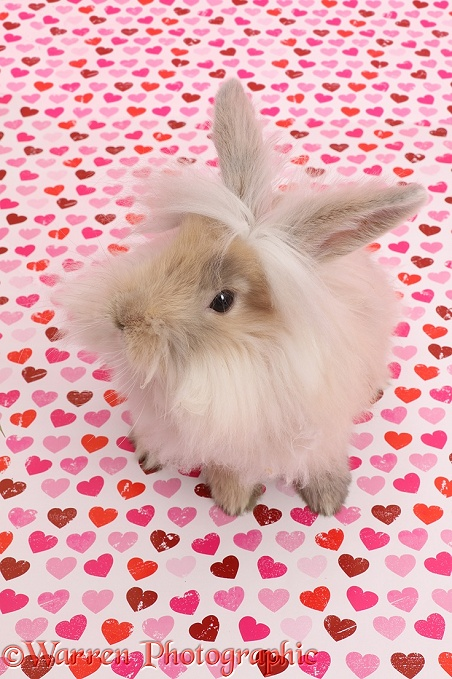 Fluffy bunny sitting on pink heart background