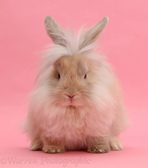 Fluffy bunny sitting on pink background
