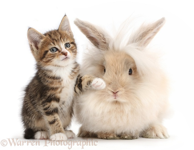 Tabby kitten with fluffy bunny, white background
