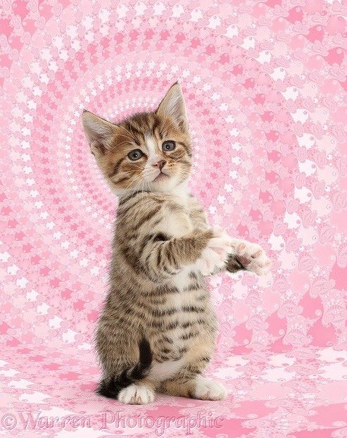 Tabby kitten standing up on haunches, white background