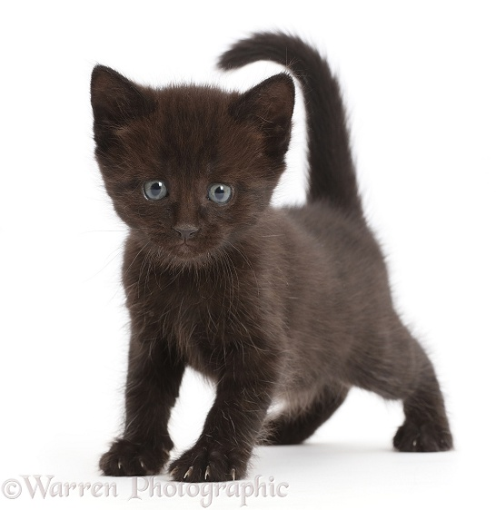 Black kitten walking standing with tail up, white background