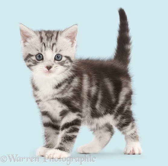 Silver tabby kitten, 4 weeks old, standing, white background