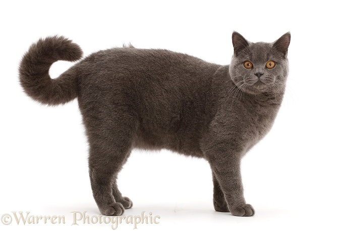Blue British Shorthair cat standing with curled tail, white background