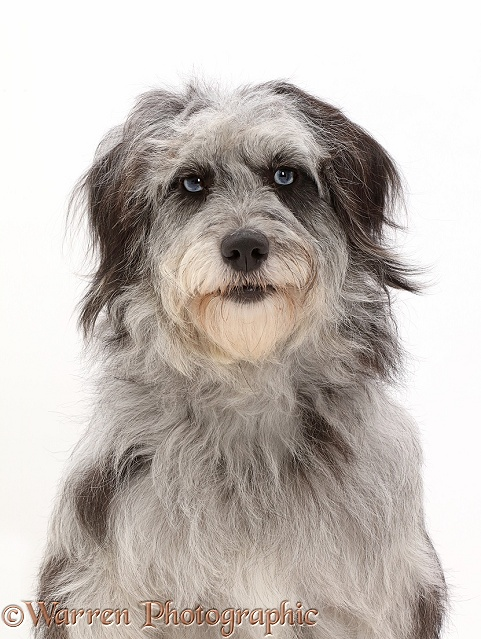 Grey shaggy Cadoodle mutt, white background