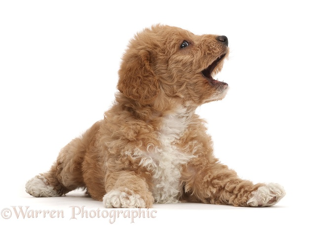 Playful F1b toy goldendoodle puppy with open mouth, white background