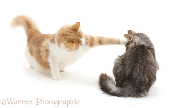 Ginger-and-white Siberian female cat, 2 years old, bopping Silver tabby male cat Loki, 4 months old, on the head to tell him to keep his distance, white background