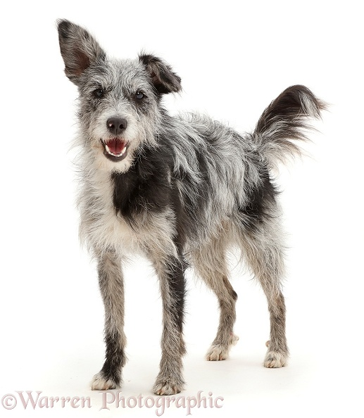 Blue merle mutt standing, white background