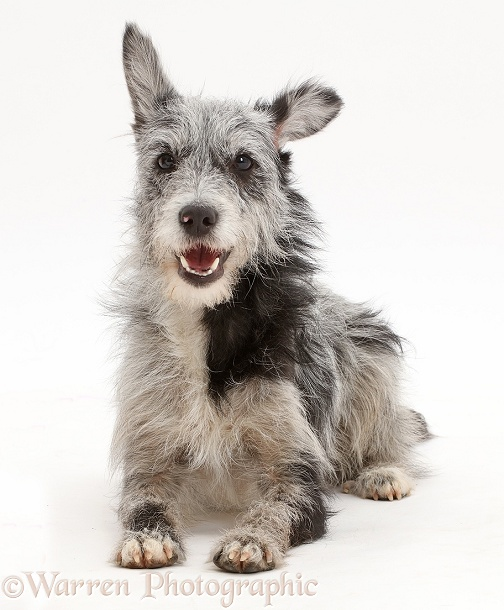Blue merle mutt lying with head up, white background