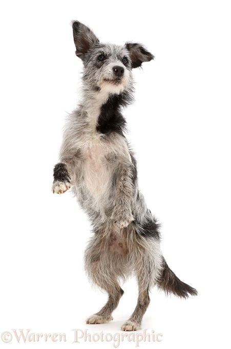 Blue merle mutt standing up on hind legs, white background