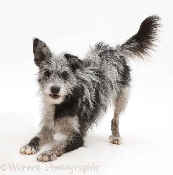Blue merle mutt in play-bow, white background