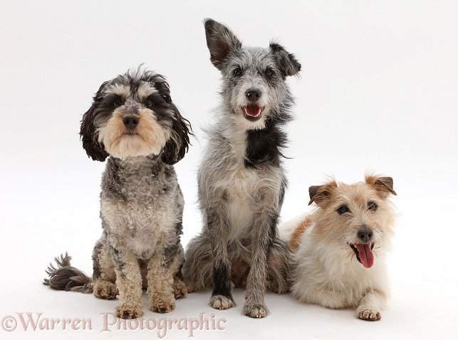 Dogs: Three assorted scruffy mutts photo - WP43257