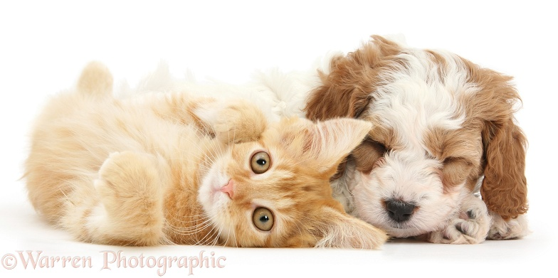 Cute red-and-white sleeping Cavapoo puppy, 5 weeks old, and ginger kitten, white background