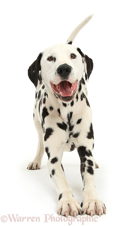 Dalmatian dog, Barney, 6 years old, in play-bow stance, white background