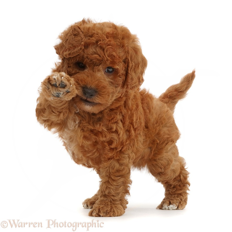 F1b toy goldendoodle puppy holding paw up, white background