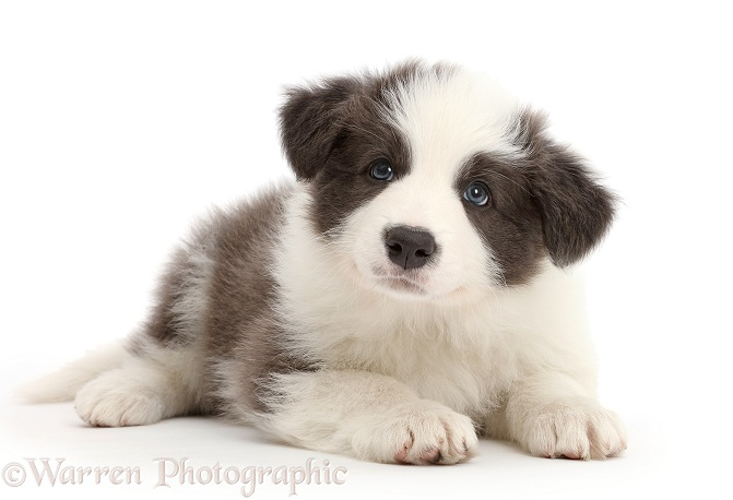 Blue-and-white Border Collie puppy, white background