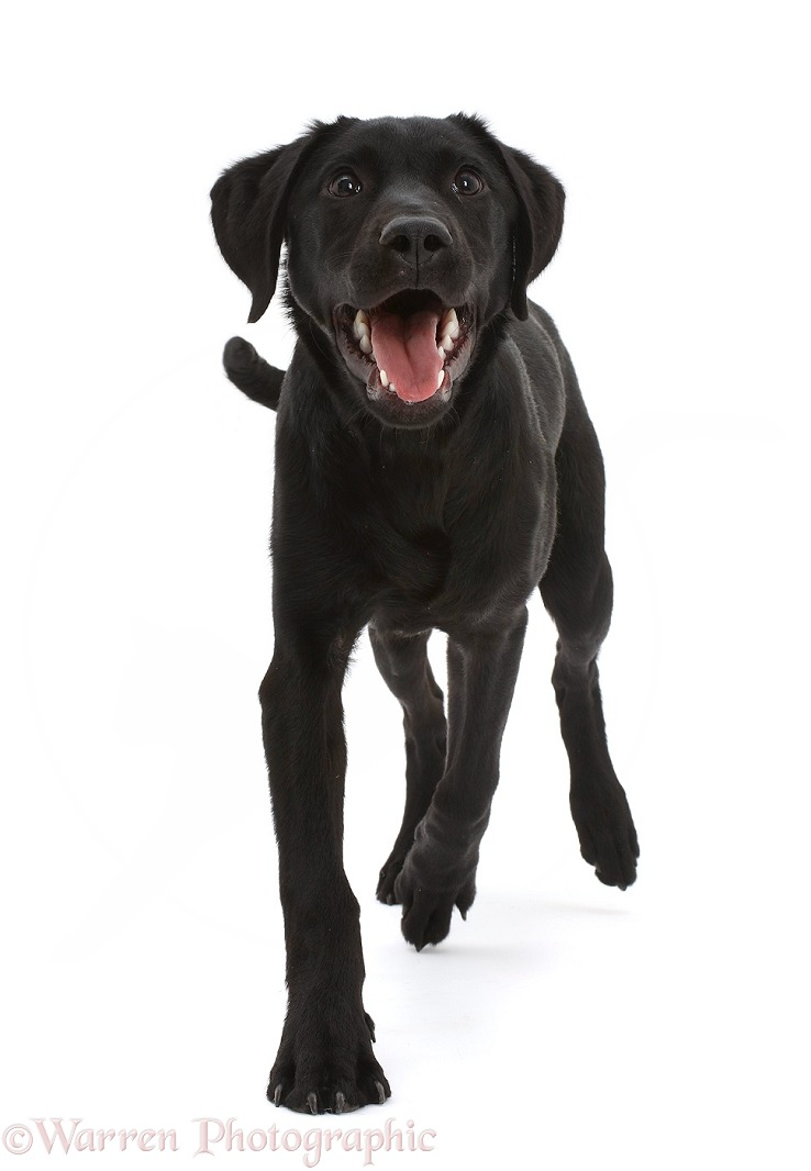 Black Labrador dog, 6 months old, trotting, white background