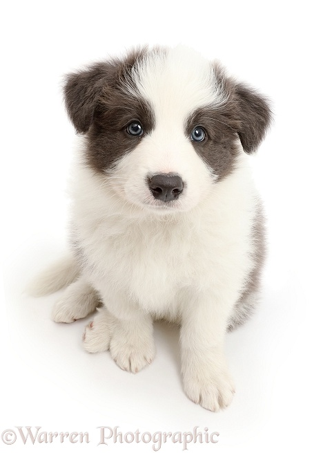 Blue-and-white Border Collie puppy sitting looking up, white background