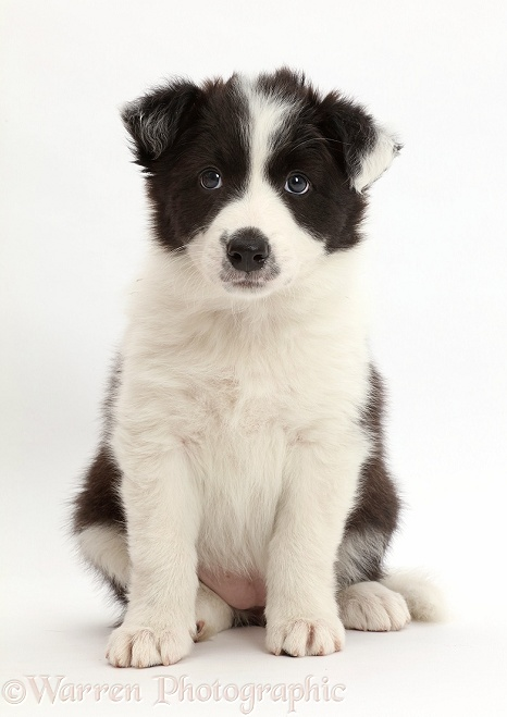 Black-and-white Border Collie puppy sitting, white background