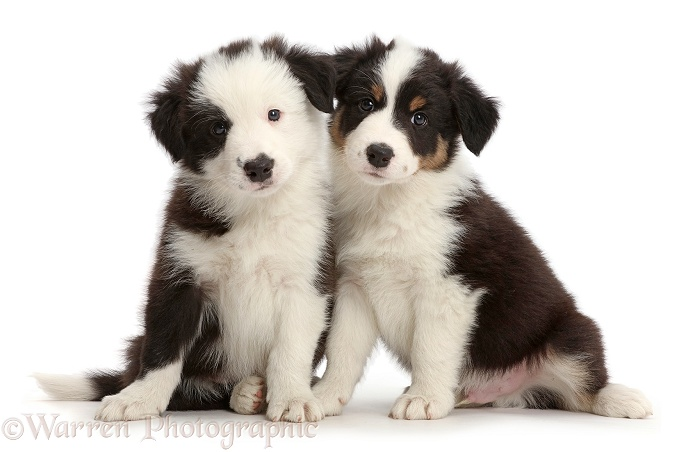Two Border Collie puppies sitting, white background