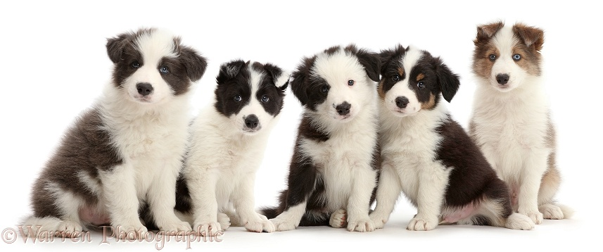 Four Border Collie puppies sitting in a row, white background