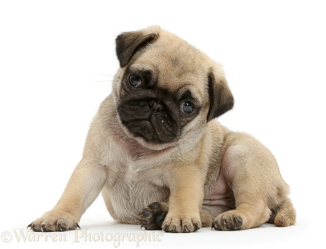 Pug puppy lounging, white background
