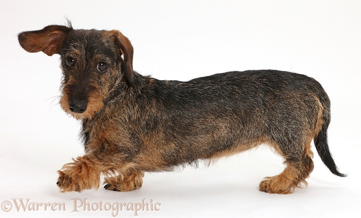 Wire haired Dachshund walking across, white background