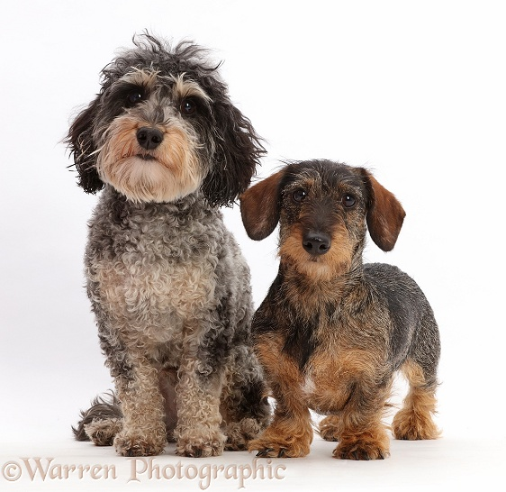 ... Tricolour Daxie-doodle dog, Dougal , and wire-haired Dachshund