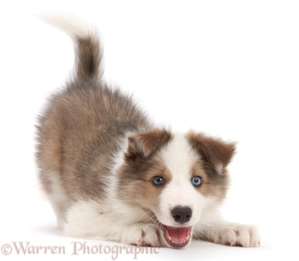 Sable-and-white Border Collie puppy, 8 weeks old, in play-bow, white background