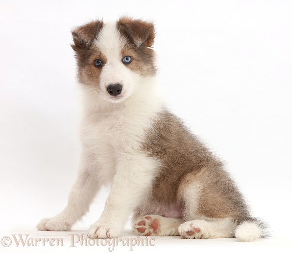 Sable-and-white Border Collie puppy, 8 weeks old, sitting, white background