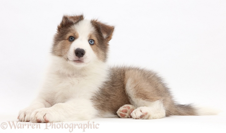 Sable-and-white Border Collie puppy, 8 weeks old, white background