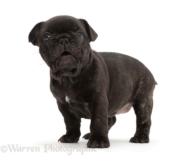 French Bulldog puppy, 5 weeks old, white background