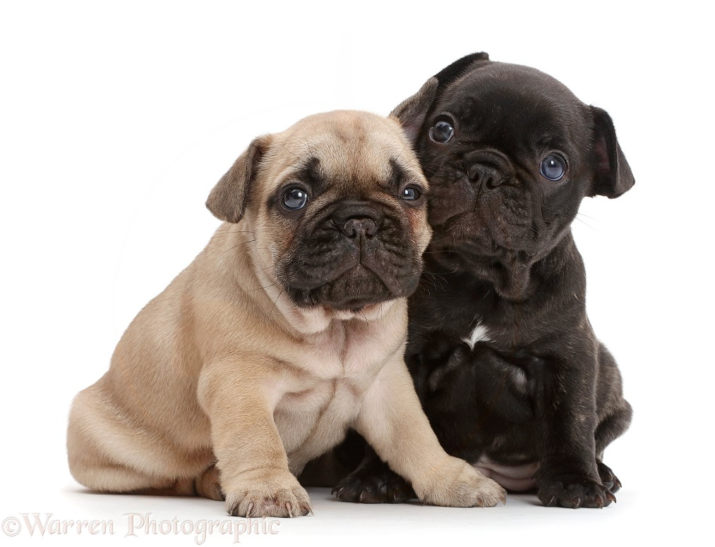 French Bulldog puppies, 5 weeks old, white background