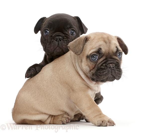 pug puppies #10