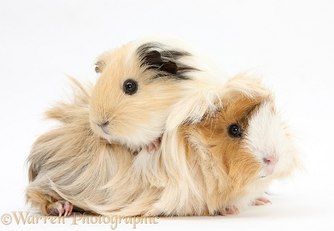 Two Bad-hair-day Guinea pigs, white background