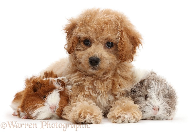 Cavachondoodle pup and Guinea pigs, white background