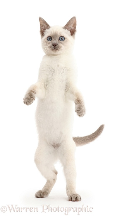 Playful Blue-point kitten standing up, white background