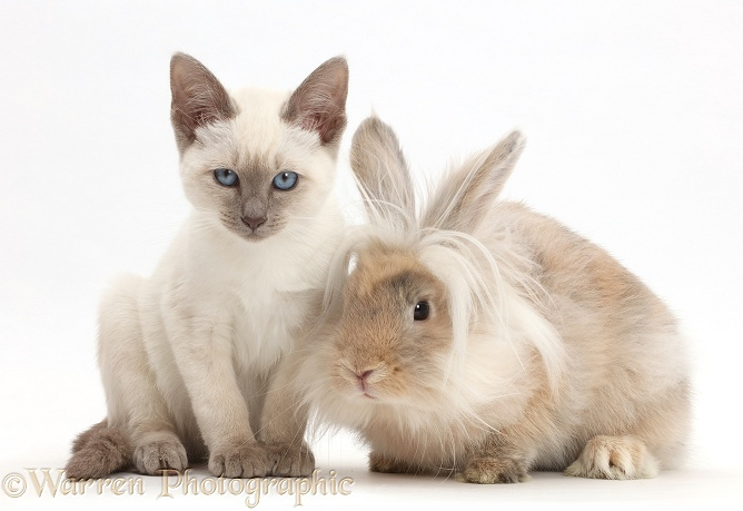 Blue-point kitten with fluffy bunny, white background