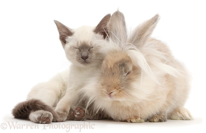 Blue-point Birman-cross kitten dozing with fluffy bunny, white background