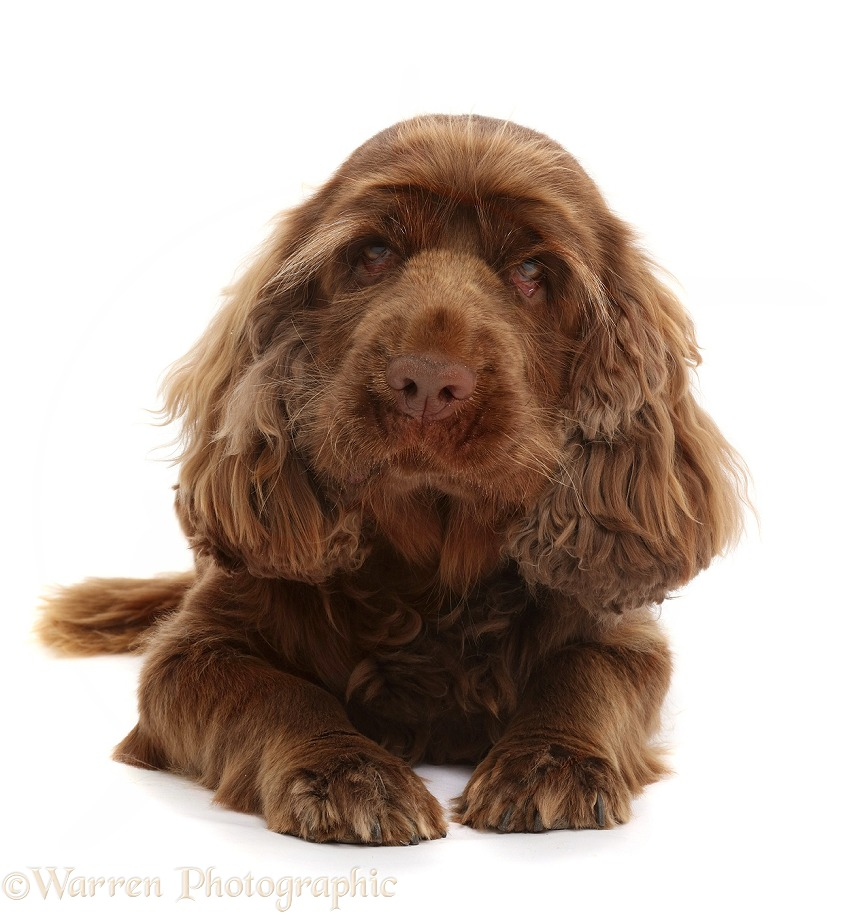 Sussex Spaniel sitting, lying with head up, white background