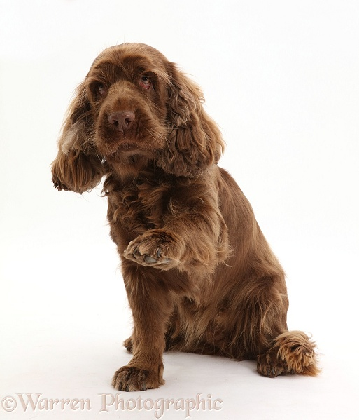 Sussex Spaniel sitting, with raised paw, white background
