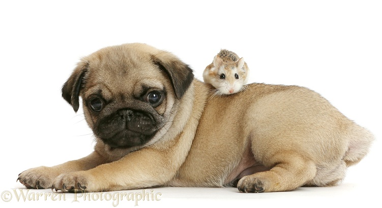 Pug puppy and Roborovski Hamster, white background