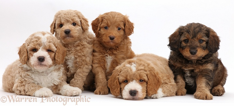 Five F1b Toy Goldendoodle puppies, 7 weeks old, white background