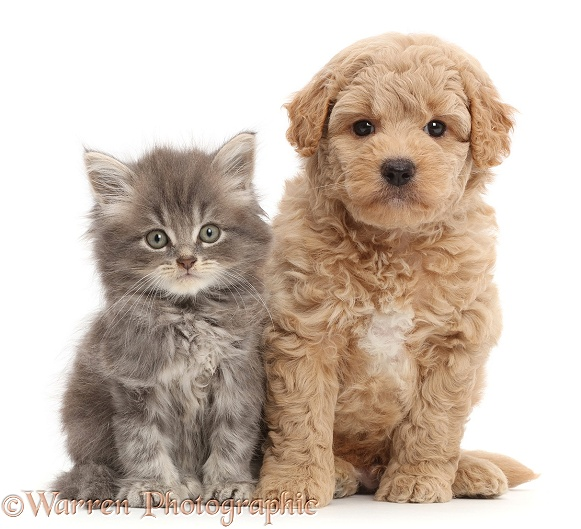 Tabby Persian-cross kitten and F1B Toy Goldendoodle puppy, both 7 weeks old, white background