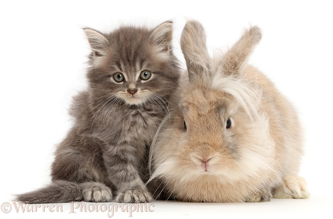 Grey kitten and fluffy bunny, white background
