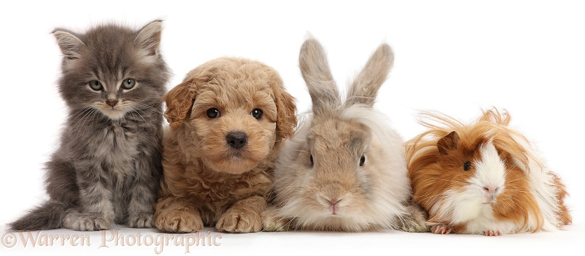 Grey kitten, Goldendoodle puppy, bunny and Guinea pig, white background