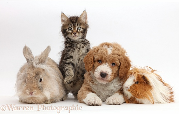 Tabby kitten, Goldendoodle puppy, bunny and Guinea pig, white background
