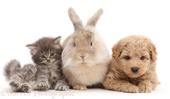 Grey kitten, Goldendoodle puppy and fluffy bunny