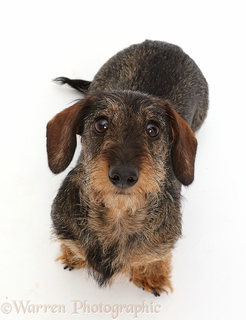 Wire haired Dachshund sitting and looking up, white background