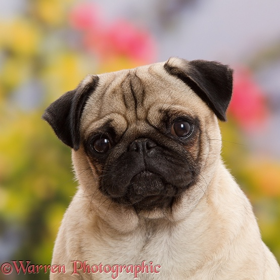 Adult Pug portrait